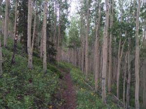 Beautiful Aspen Grove