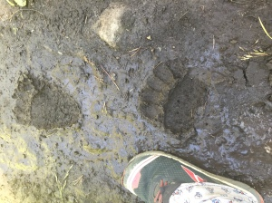 Constant Grizzly Tracks in Yellowsone. Constantly letting you know that you're not the top of the food chain out here. I really enjoyed the wild feel of that.